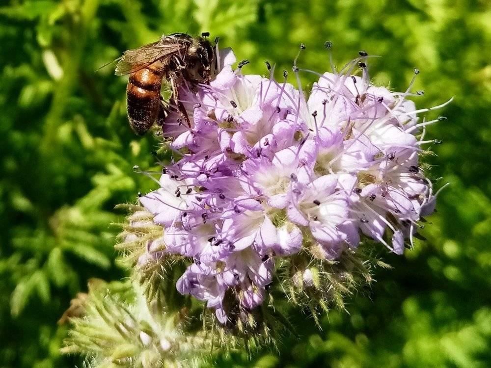 Медоносные растения и травы: лучшие медоносы для пчел