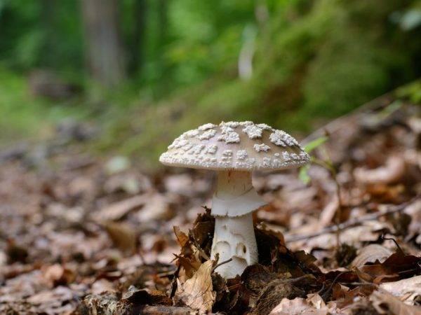 Гриб-зонтик пестрый – описание, фото, рецепт приготовления, способы выращивания | cельхозпортал