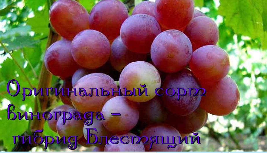 Самый популярный сорт винограда среди любителей — «блестящий»