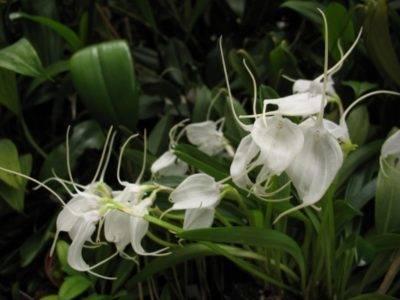 Орхидея балерина и фото необычных, редких экзотических видов цветов: дракула, морковка, обезьянки, призрак, спящий младенец, как цветут и уход в домашних условиях