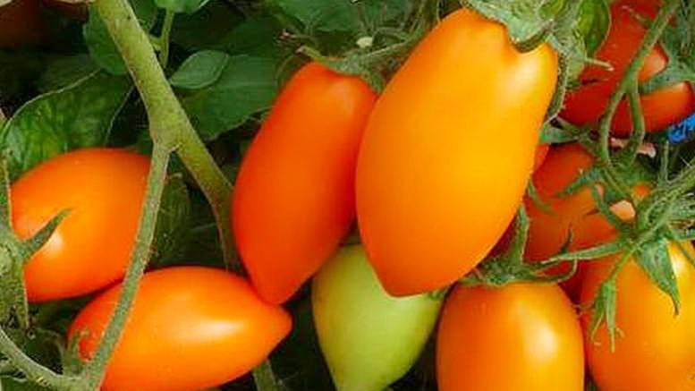 Скороспелые малыши для любителей эстетичных овощей — перец лисичка желтая: отзывы и описание сорта