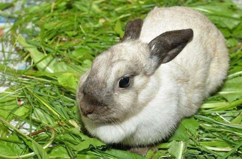 Роды крольчихи – количество крольчат за один раз?