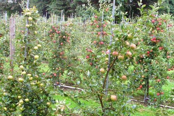 Яблоня мельба: описание сорта и характеристика, видео и фото