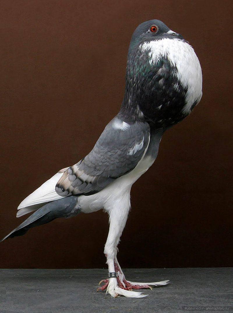 Виды лесных и диких голубей