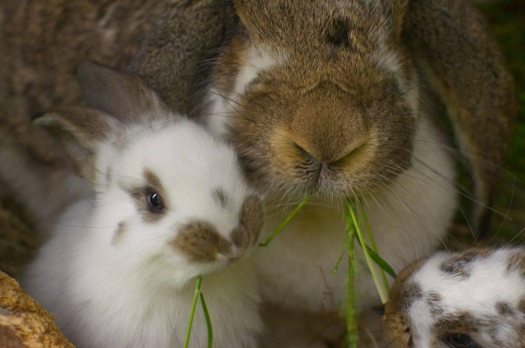 Породы карликовых кроликов с фотографиями, названиями и описанием
