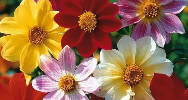 Бордюрные георгины (56 фото): названия кактусовых и карликовых цветов, описание низкорослых сортов «аспен» и red pygmy, многолетние и декоративные растения, посадка семян и уход