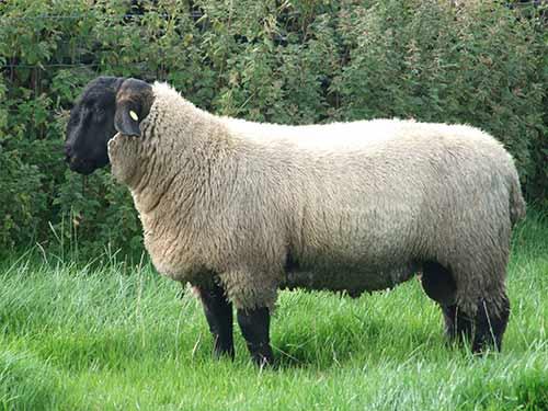Порода овец тексель: описание, продуктивность, разведение, содержание и кормление