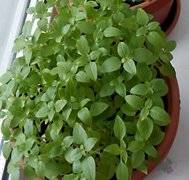 Мята: посадка, уход и выращивание на подоконнике и в открытом грунте