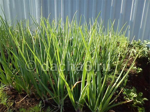 Аммиак применение на огороде, подкормка и защита