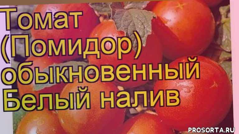 Описание и характеристика сорта помидоров белый налив