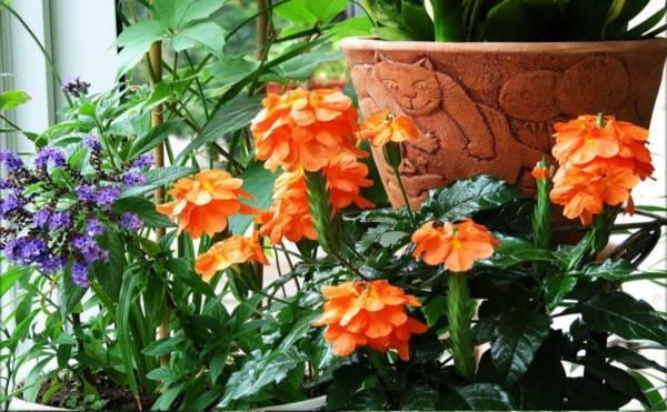 "Цветок ""кроссандра"": описание, уход в домашних условиях + фото"