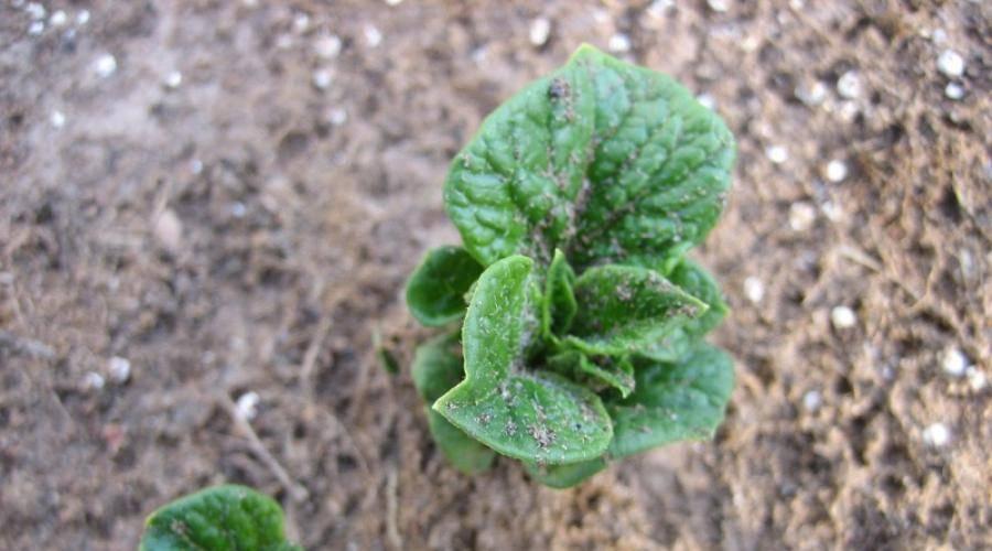 Подготовка картофеля к посадке весной