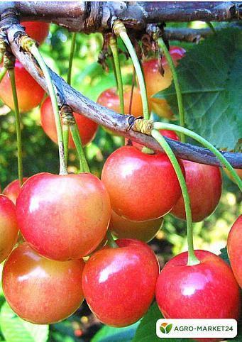 Черешня фатеж: отзывы, описание сорта, выращивание, уход, опылители, морозостойкость, вкусовые качества, обрезка