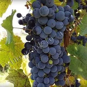 Виноград левокумский, устойчивый: описание сорта, особенности выращивания