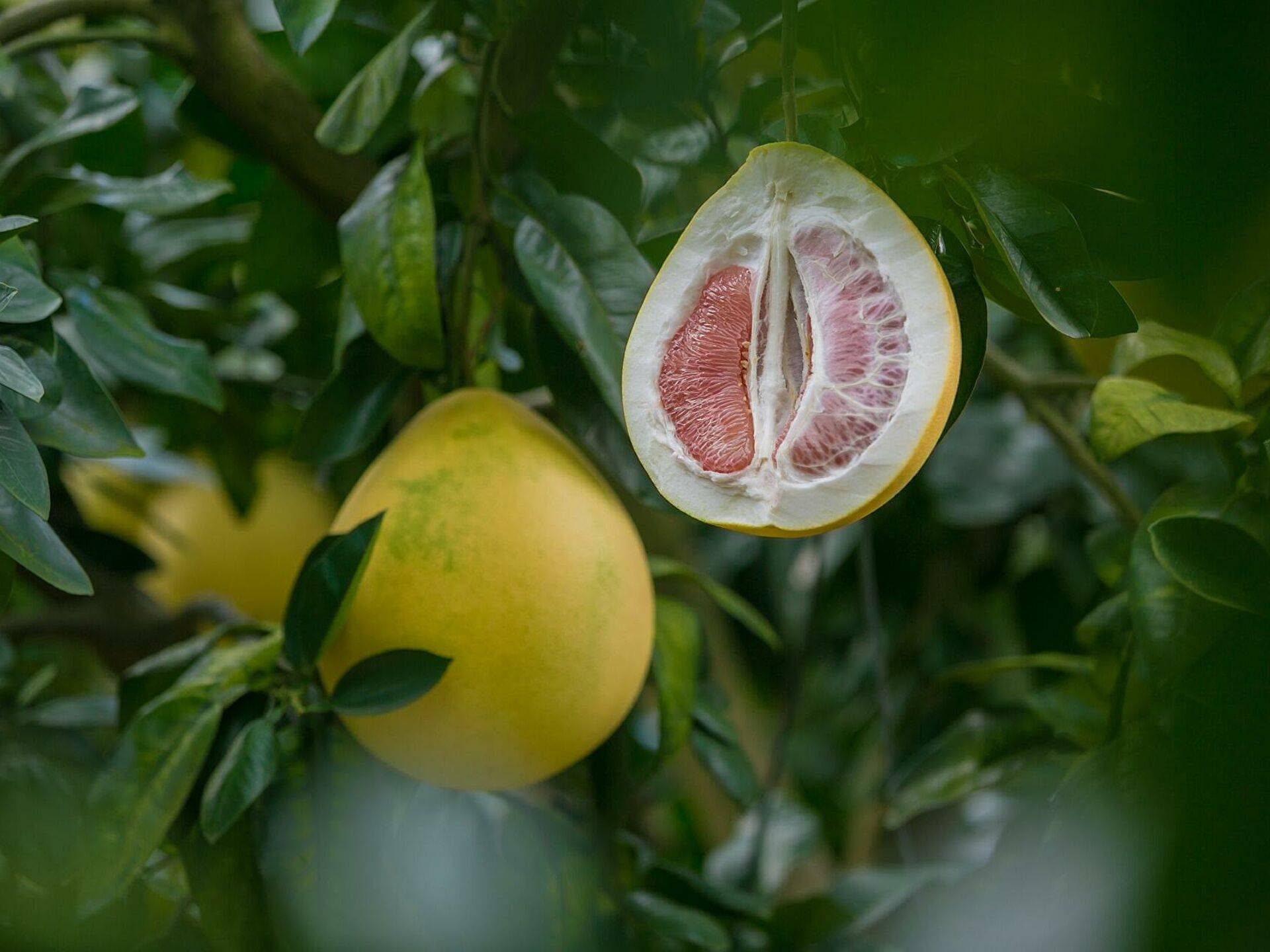 Грейпфрут: где растет, чем полезен, как выбрать, что можно сделать