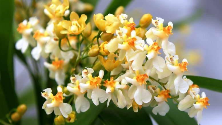 Орхидея онцидиум твинкль — описание и легенды   огородники