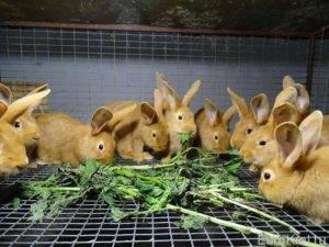 Можно ли давать кроликам лопух, польза для животных, правила и нормы кормления