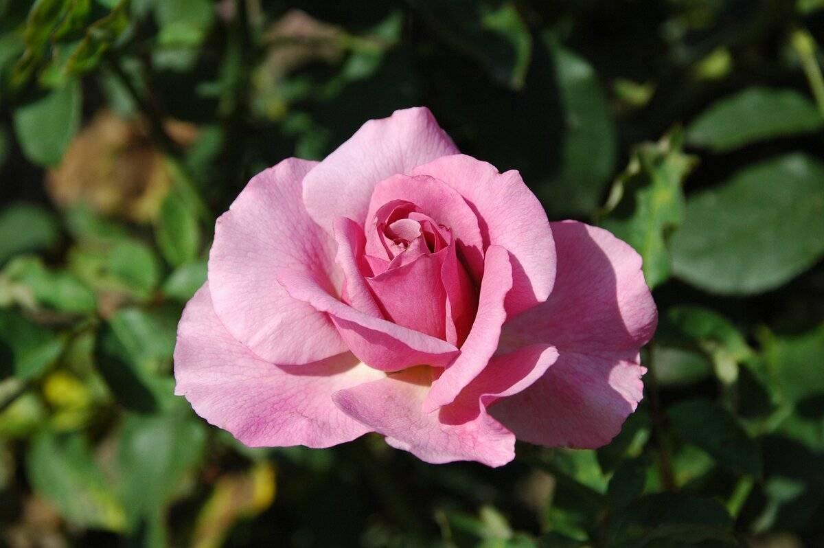 Лучшие удобрения для роз весной, летом и осенью: виды, названия, сроки, чем подкормить розы для обильного цветения