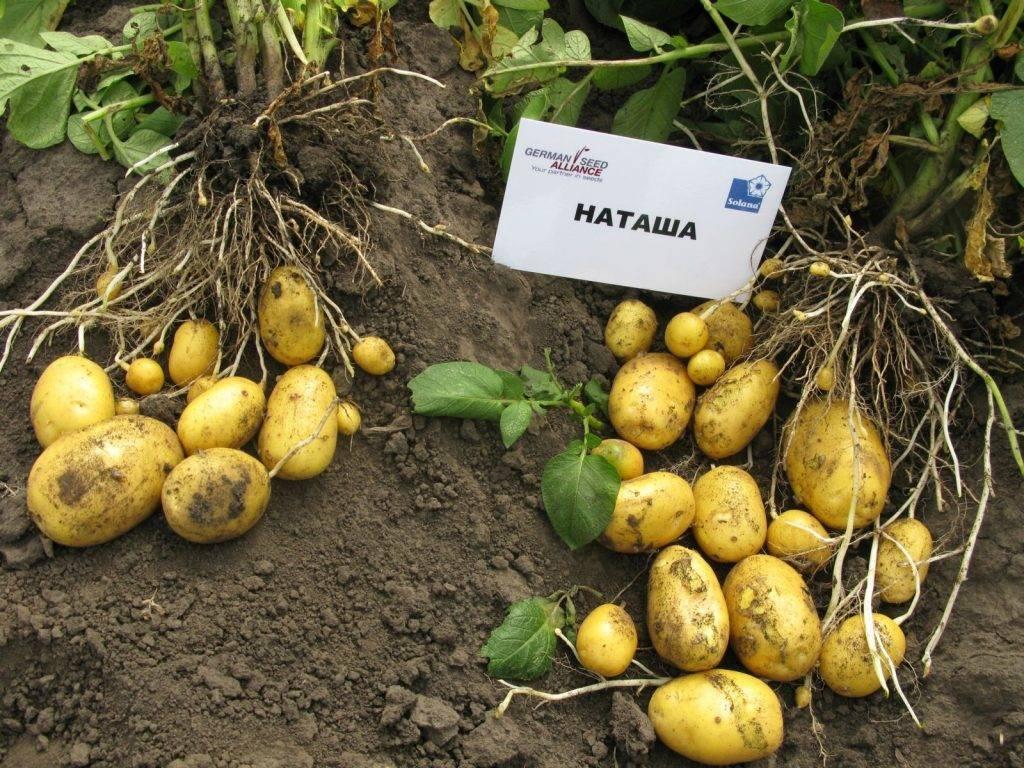 Картофель «коломбо»: характеристика и описание сорта