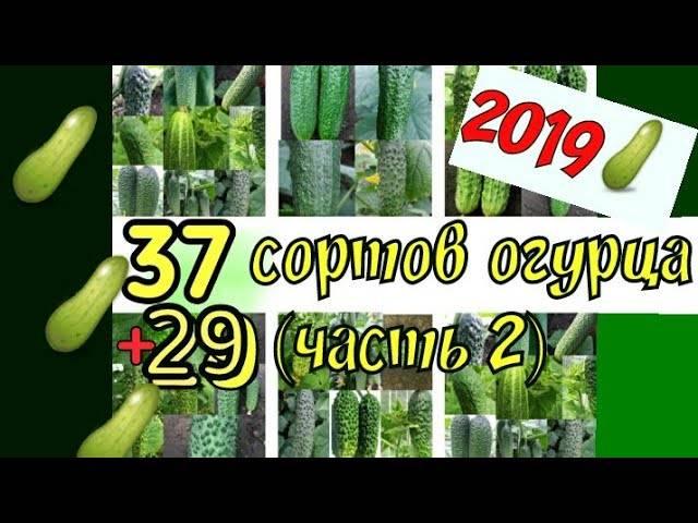 Огурец стелла f1: описание сорта, отзывы об урожайности, фото семян семко и сиб сад, посадка и уход, выращивание