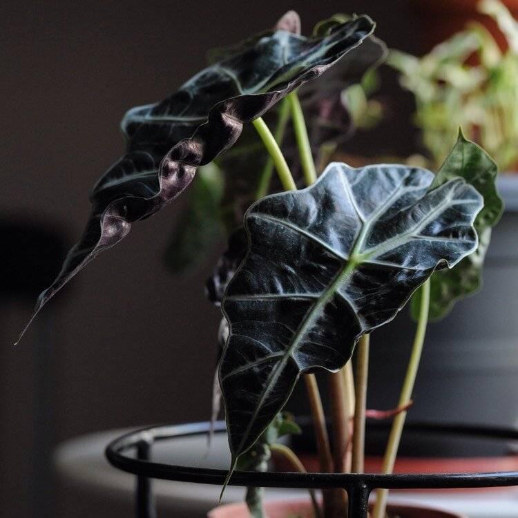 Алоказия: все нюансы ухода за цветком в домашних условиях + фото и видео