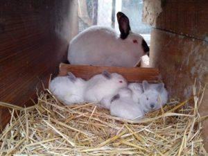 Новорожденные кролики: кормление, уход