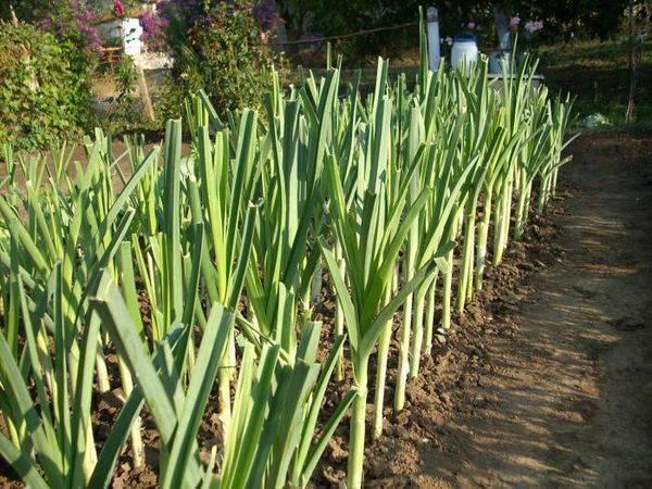Лук-порей: как сажать и выращивать в открытом грунте