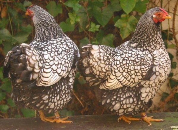 Андалузская голубая порода кур — описание, фото, правила содержания