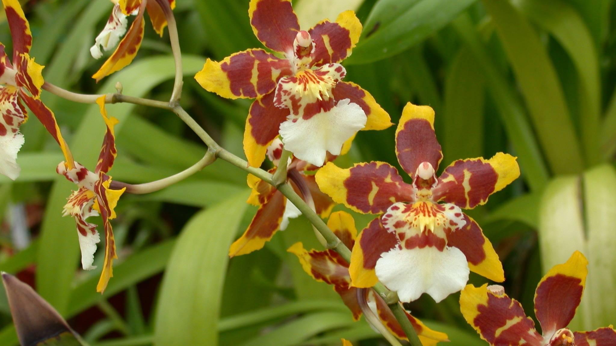 Орхидея камбрия – уход в домашних условиях. выращивание камбрии, пересадка и размножение. описание, виды. фото