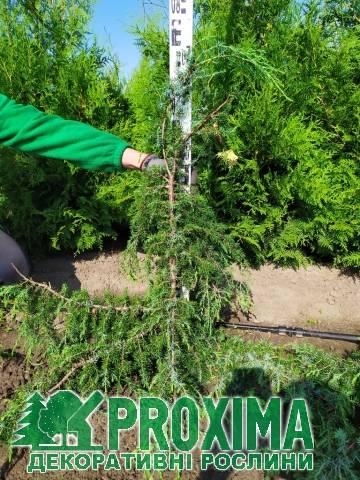 Можжевельник обыкновенный хорстманн (horstmann): описание, фото, посадка