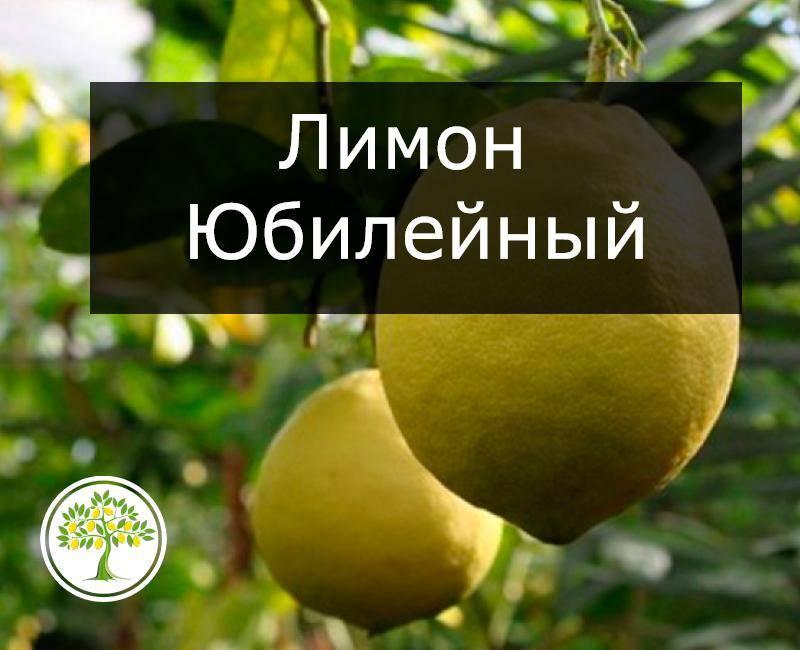 Ташкентский оранжевый лимон — моя любимая находка