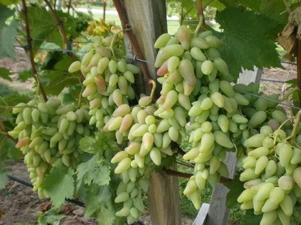 Виноград оригинал: описание сорта, достоинства и недостатки сорта