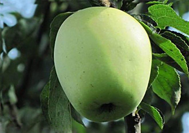 Многоименная яблоня «аркад летний», «желтый» или «длинный»