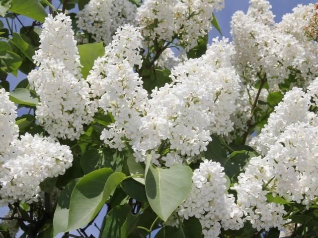 Сирень красавица москвы: посадка и уход в открытом грунте весной, описание