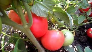 Томат тарпан f1 описание отзывы | мой сад и огород