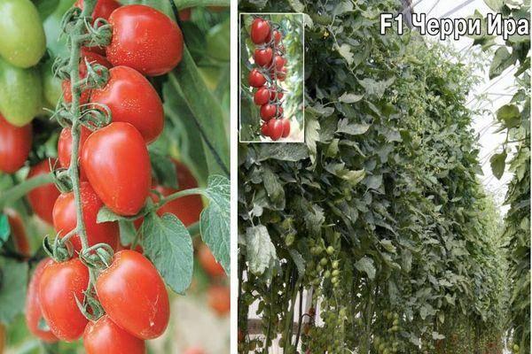 Томат черри кира f1: описание и урожайность сорта, фото, отзывы