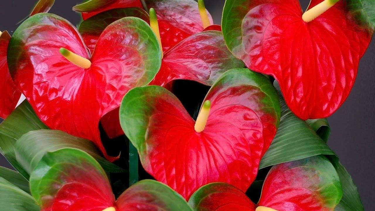 Антуриум: уход в домашних условиях, выращивание из семян, цветение