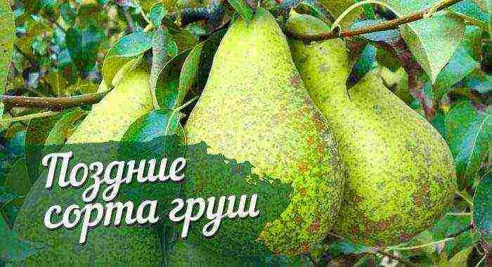 Лучшие сорта груши для средней полосы россии, например зимние и прочие + фото