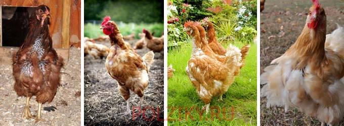 Линька у куриц — сколько дней и когда будут нестись