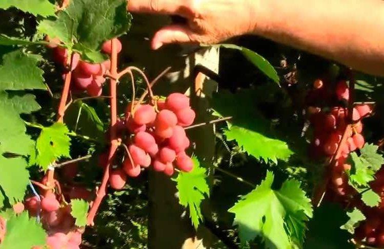 """Подробное описание сорта винограда """"виктория"""""""