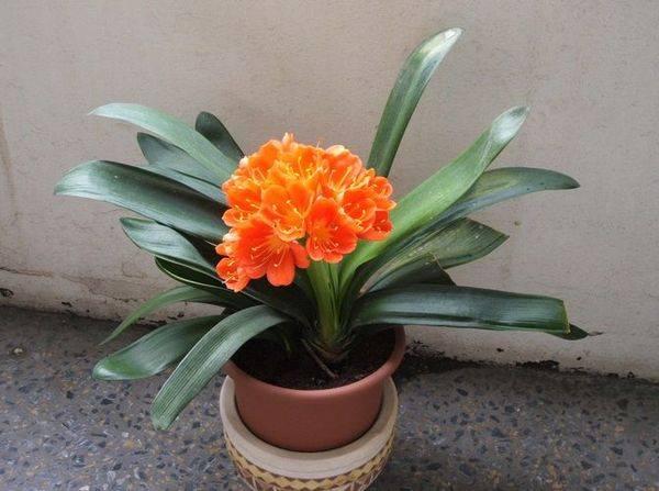 Кливия- выращивание, размножение и уход, виды с фото