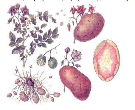 Тип плода у картофеля - сельская жизнь