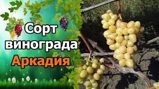 Виноград аркадия – описание сорта, фото, отзывы