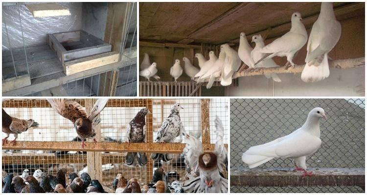 Болезни голубей: симптомы и лечение, какие опасны для человека
