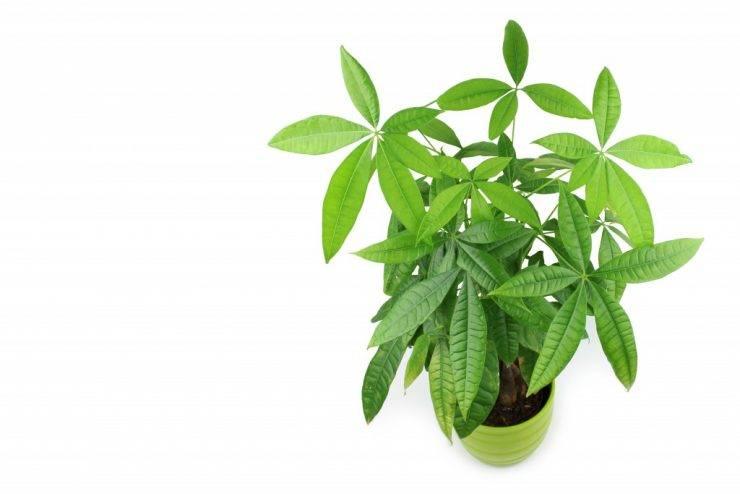 Пахира (pachira). как вырастить, уход, размножение.