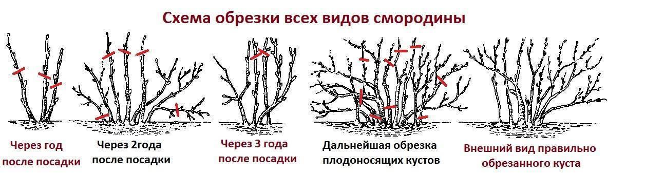Обрезка смородины осенью для начинающих - черной, красной, белой