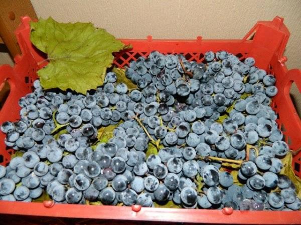 Виноград изабелла: описание и фото, польза и вред, отзывы