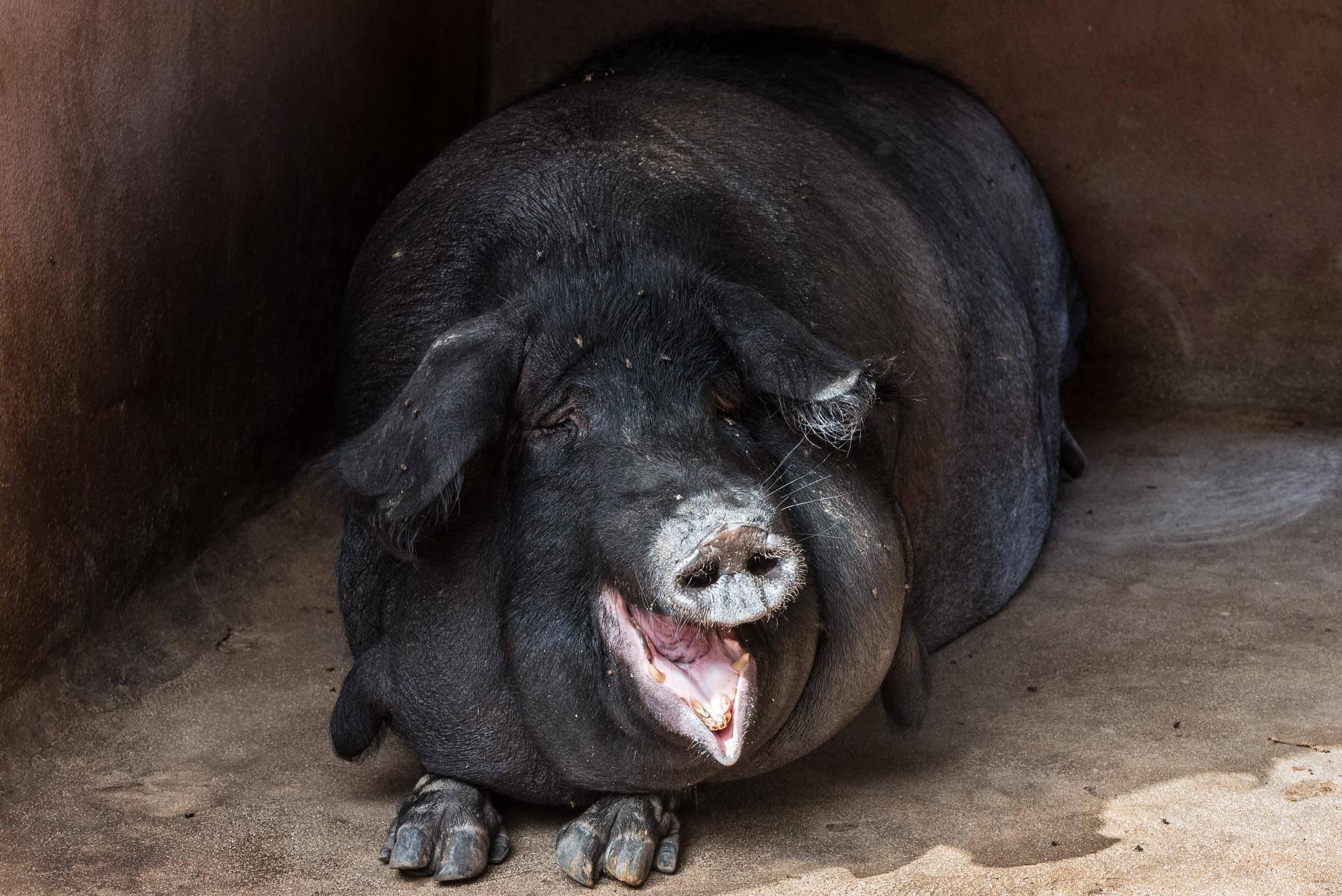 Уход и разведение вьетнамских поросят: описание породы, кормление, содержание и размножение азиатских свиней
