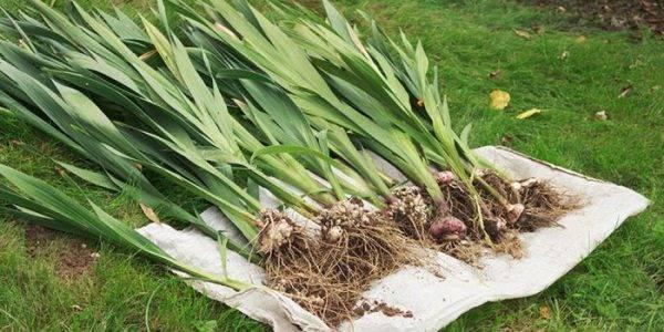 Как хранить луковицы гладиолусов зимой: когда убирать их на зиму? уборка осенью и хранение в домашних условиях. как сохранить до весны в квартире?