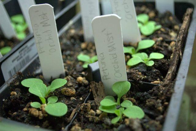 Уход за петунией во время цветения в горшках и вазонах: сколько составляет этот период и как его продлить, а также что делать, чтобы растение обильно давало бутоны?дача эксперт